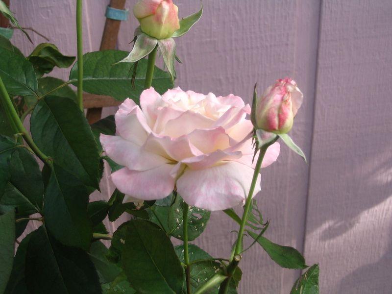 More fall roses